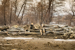 Deforestation. In the forest . tree trunk wood Stock Photography