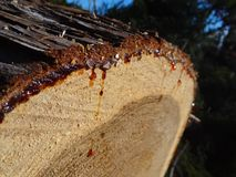 Deforestation and leaking sap, cut trees royalty free stock image