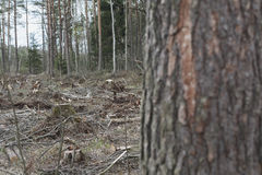 Deforestation, lifeless part of the forest ecology Royalty Free Stock Photography