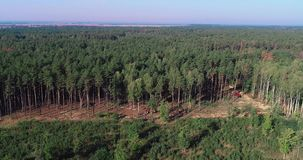 Deforestation of the old pine forest, logging aerial view, deforestation on an industrial scale, deforestation with