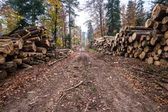 Deforestation in rural areas. Timber harvesting in forest.  royalty free stock image