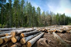 Deforestation in rural areas. Timber harvesting. Green coniferous forest. Spruce, pine. A lot of logs lying on the ground. Landscape royalty free stock photo