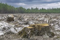 deforestation Stubbe av trädet efter bitande skog arkivbild