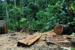 Free Deforestation: Tree Cut Down And Jungle Or Tropical Forest In The Background Stock Images - 145057704