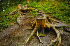 Deforestation. Tree stumps due to deforestation process Stock Photo