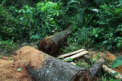 Deforestation: two large trunks of a tree and sawdust with jungle, tropical forest in the backround stock image