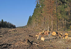 Deforested area with chock's piles. Deforested area in coniferous forest with piles of cutted chocks, Russia Royalty Free Stock Photo