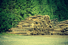 Deforested cut tree wood in forest Royalty Free Stock Photo