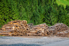 Deforested cut tree wood in forest Royalty Free Stock Photos