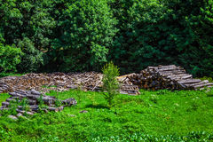 Deforested cut tree wood in forest Royalty Free Stock Photography