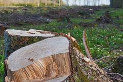 Deforested Lithuania. Thick felled tree trunk in the early spring Stock Photos
