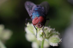 A fly with deformation of compound eye Stock Image
