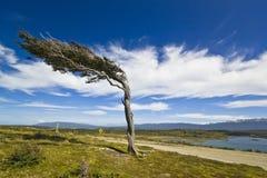 Deforme por el árbol del viento en la Patagonia Tierra del Fuego Foto de archivo libre de regalías