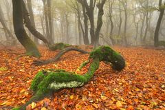 Deformed beech in forest Stock Image