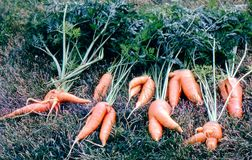 Deformed carrots Stock Photos