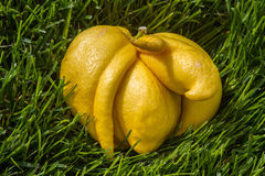 Deformed lemon Royalty Free Stock Images