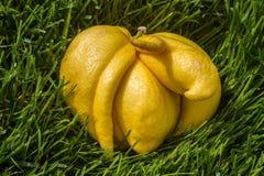 Deformed lemon. Fell from tree pictured taken on mar 2014 Royalty Free Stock Images