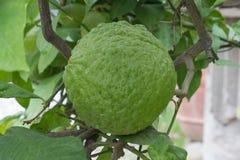 Deformed lemon fruit. stock images