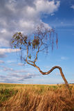 Deformed tree in the landscape Stock Image
