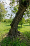 Deformed Trunk Tree Royalty Free Stock Images