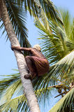Deft indian man picking coconut. Strong deft indian man picking coconut in Kerala, India stock photo