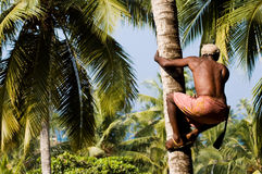 Deft indian man picking coconut stock images