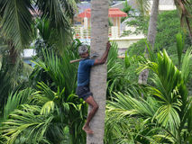 Deft man climbing palm tree. A deft man climbing palm tree to trim branches and  pluck fruit Royalty Free Stock Image