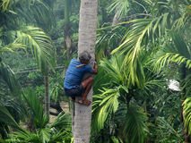 Deft man climbing palm tree. A deft man climbing palm tree to trim branches and  pluck fruit Stock Photos