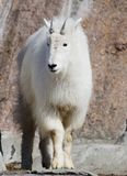 Snow goat or mountain goat. Rocky moumtain goat. She deftly climbs on the cliffs of the rocky mountains Royalty Free Stock Photography