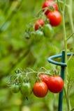 Deg- eller plommontomater i trädgården Arkivbild
