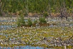 Degradación del bosque del mangle imagen de archivo
