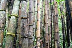 Degradacja bambusa las Zdjęcie Royalty Free