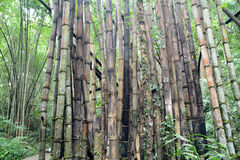 Degradation Bamboo forest Royalty Free Stock Image