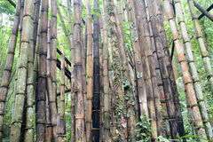 Degradation Bamboo forest Royalty Free Stock Photos