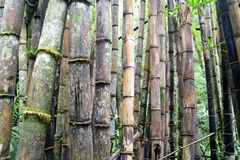 Degradation Bamboo forest Royalty Free Stock Photo