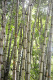 Degradation Bamboo forest Royalty Free Stock Images
