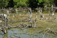 Degraded mangrove forests Stock Photos