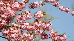 180 degree motion in spring park. A 180 degree motion in a fresh spring park with a beautiful cherry blossom pink sakura stock footage
