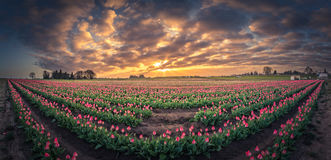 180 degree view of sunrise over tulip field Royalty Free Stock Images