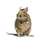 Degu与泪花的啮齿目动物宠物在眼睛 免版税库存照片