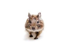 Degu或刷子被盯梢的鼠,在白色 免版税库存图片