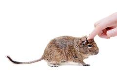Degu或刷子被盯梢的鼠,在白色 库存照片