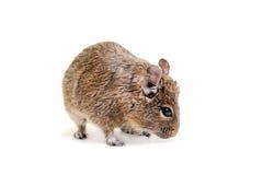 Degu或刷子被盯梢的鼠,在白色 库存图片