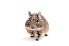 Degu или Щетк-замкнутая крыса, на белизне Стоковое Фото