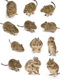 Degu Stock Photography