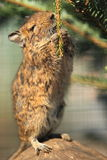 Degu Royalty Free Stock Photos