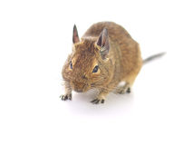 Degu Royalty Free Stock Images