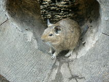 Degu. In the log Stock Images