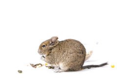 Degu. Photo of small degu during usual acts Royalty Free Stock Images
