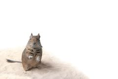 Degu. Photo of small degu during usual acts Royalty Free Stock Image
